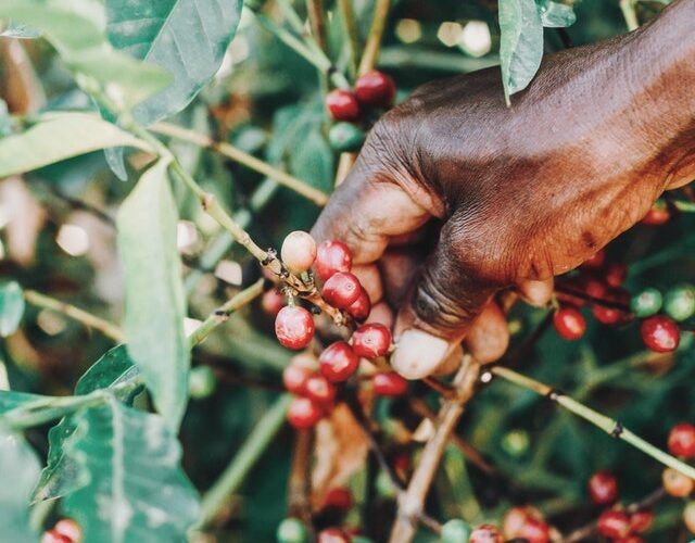 45-detailed-jamaican-coffee-industry-statistics-and-consumption-facts